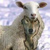 http://victorrockhillministries.com/vrm_messages/wp-content/uploads/2019/02/wolf-in-sheeps-clothing-1-e1406251029201_1-e1549428208784.jpg