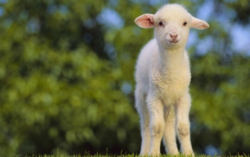 Why The Lamb